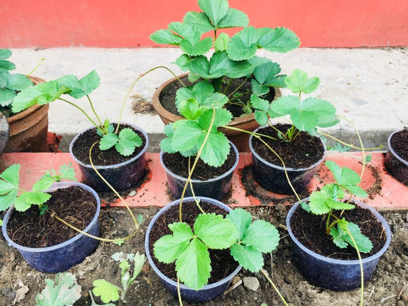 Multiply Strawberries Plants