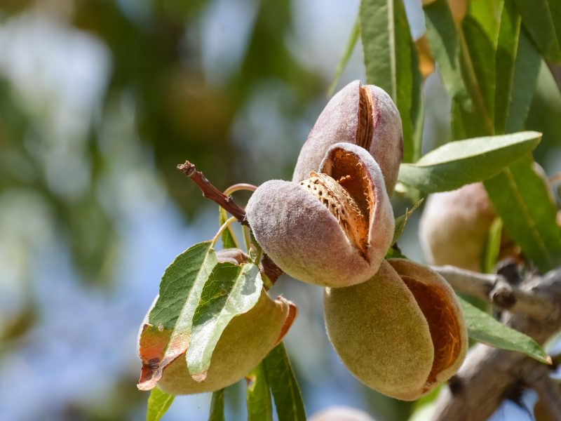 Everything about Almonds – From seeds to Plants