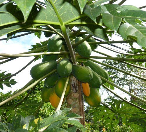 Grow Papaya – A complete guide