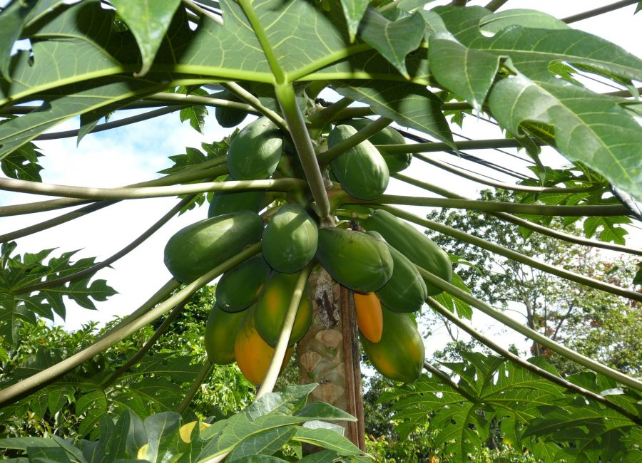 Grow Papaya – A complete guide