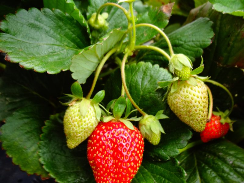 Everything About Strawberries