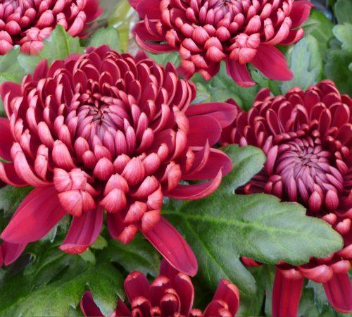 Chrysanthemums (mums) Flowers