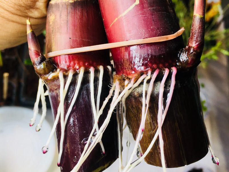 Grow Sugarcane – Unique Way