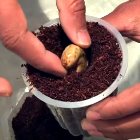 burying cashew seeds root first