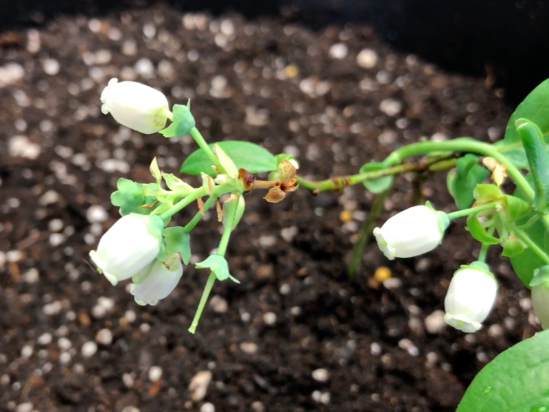 blueberry plant flowers