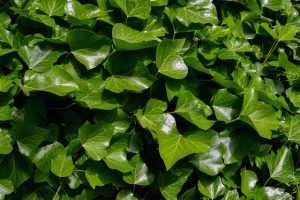 common ivy