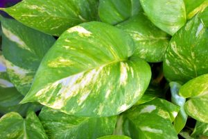 money plant leaves