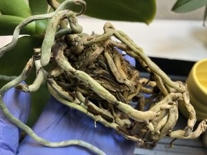 healthy orchid root
