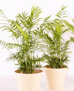 bamboo palm 2