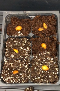 peach seeds in peatmoss, perlite and cocopeat