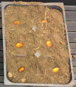 peach seeds in regular soil