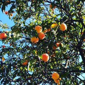 peach fruits