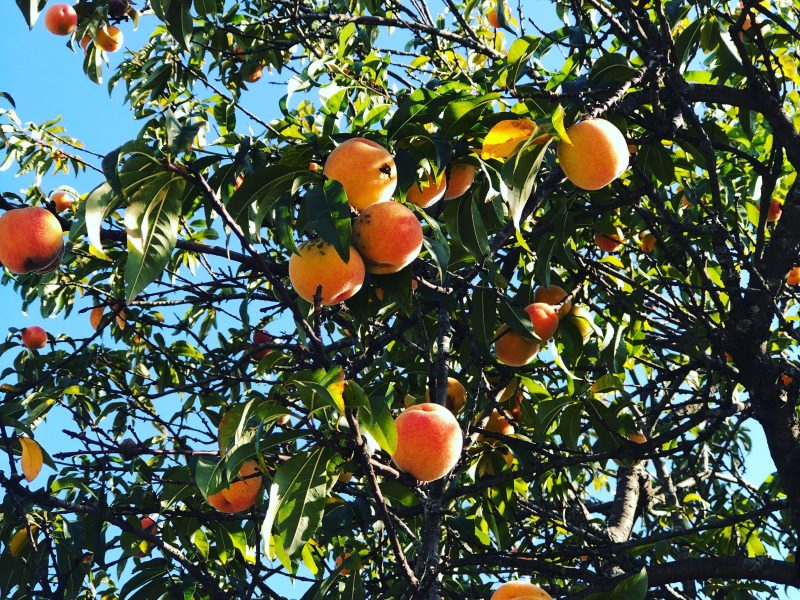 "Fruits : Images are free for use.  Please copy and paste the link in your work.  { "" Free images from www.learnagro.com. For more agro information and images visit www.learnagro.com"" }. Non credited image may subject to copyright ©"