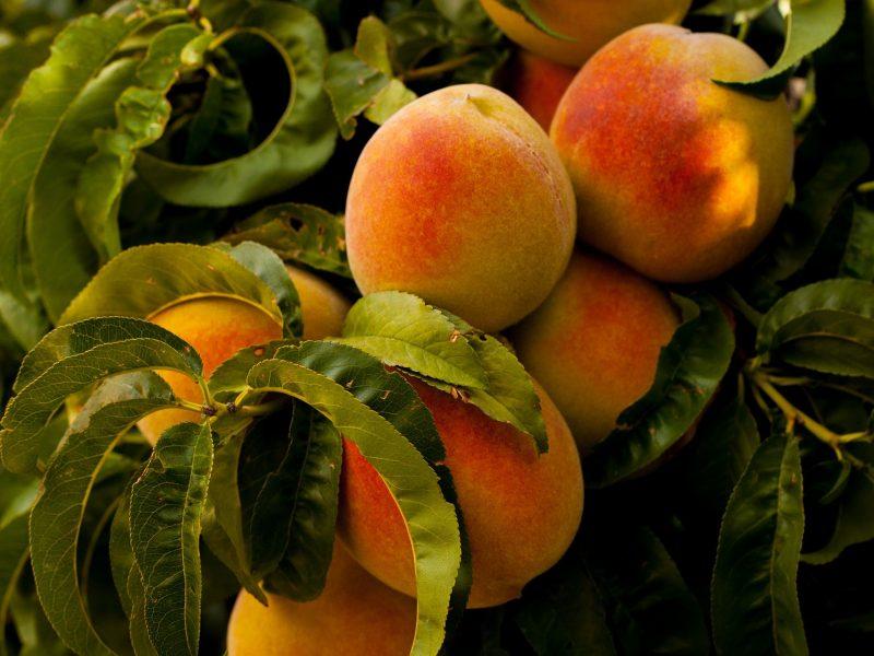 peach plant
