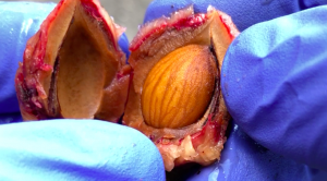 peach seeds inside hard shell