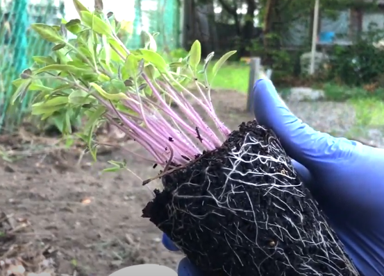 healthy tomato plant roots