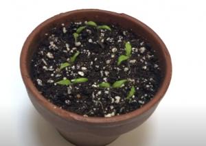 tomato plant, day 9