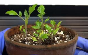 tomato plant, day 18