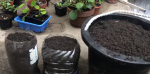 containers for transplanting tomato plants