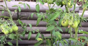 tomato plants, day 60