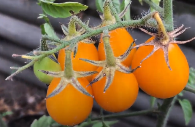 tomatoes, day 90