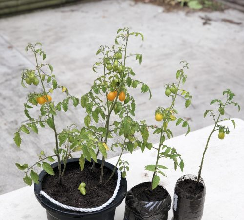 Tomato plant and how to grow it at your home?