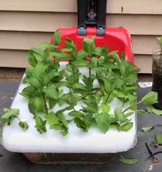 relocating mint plant to partially shade areas