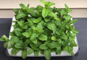 mint plant after 30 days