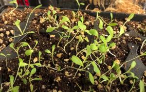 lettuce plants flourishing