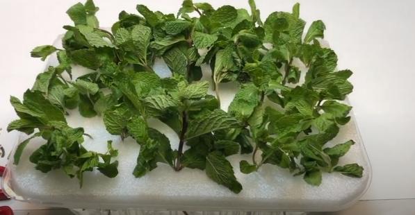 dry mint part