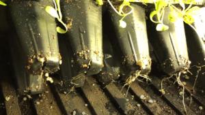 lettuce roots getting longer