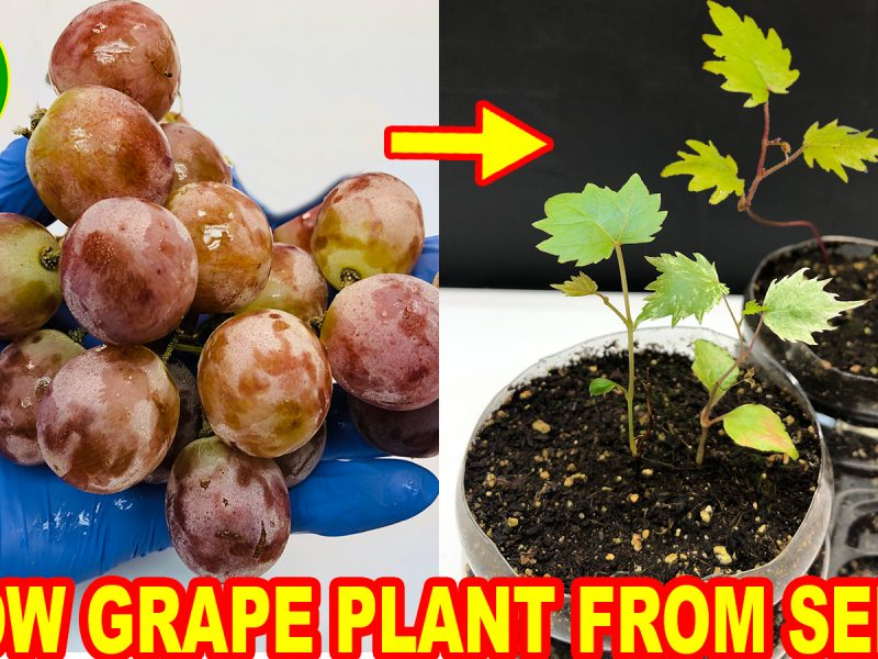 Growing grapes at home from seeds