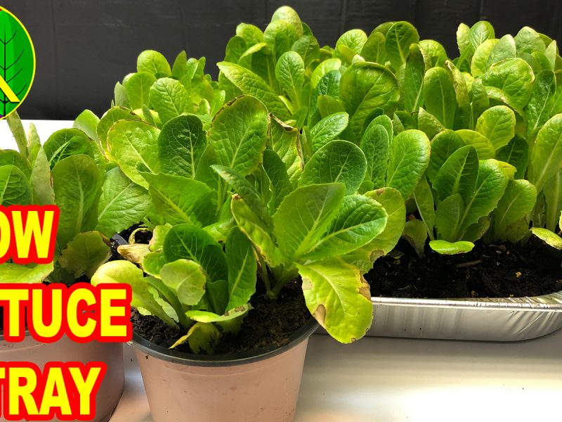 how to grow lettuce at home quick and easy guide