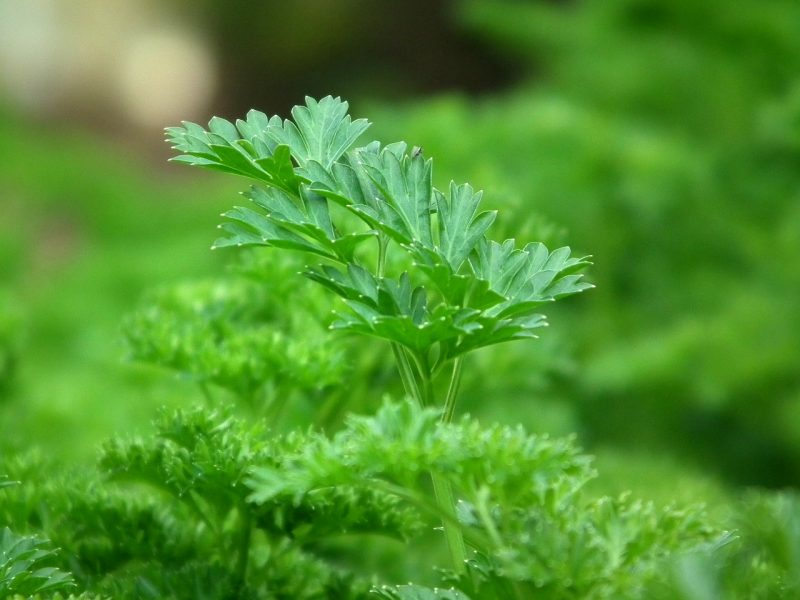 How to grow parsley at home and know its benefits?