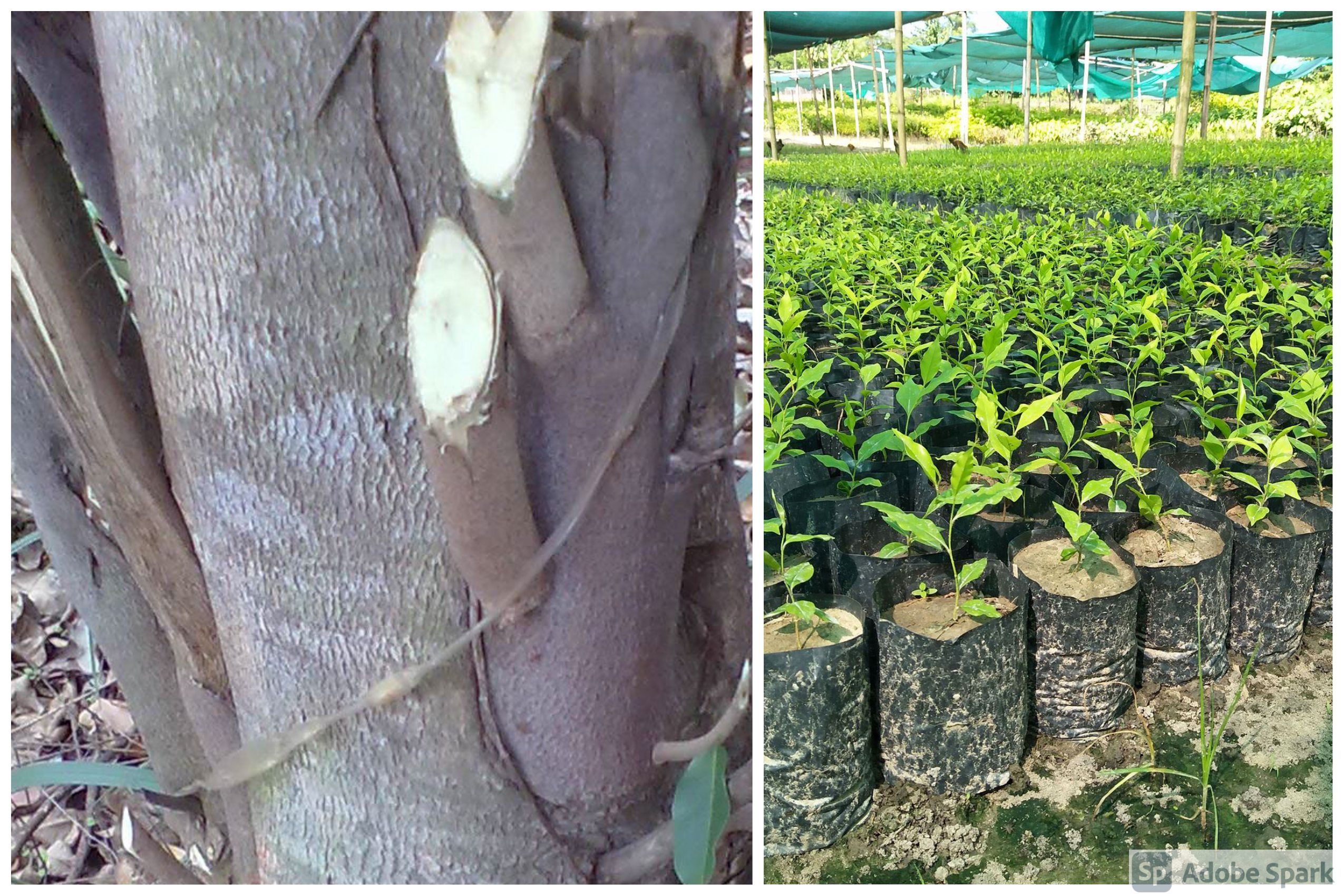Agarwood (Aquilaria species): A plant pricier than Gold