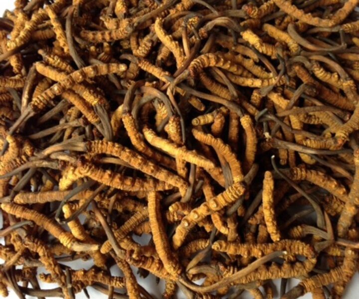 Why is Cordyceps (Yarsagumba) known as biological gold?