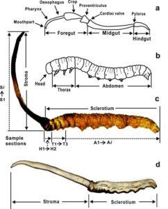 cordyceps formation