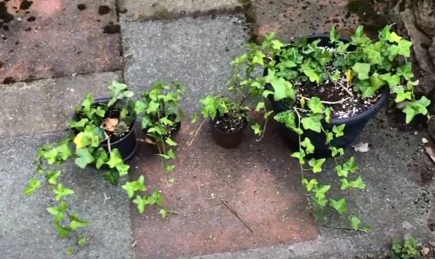 How to grow and care for English Ivy?