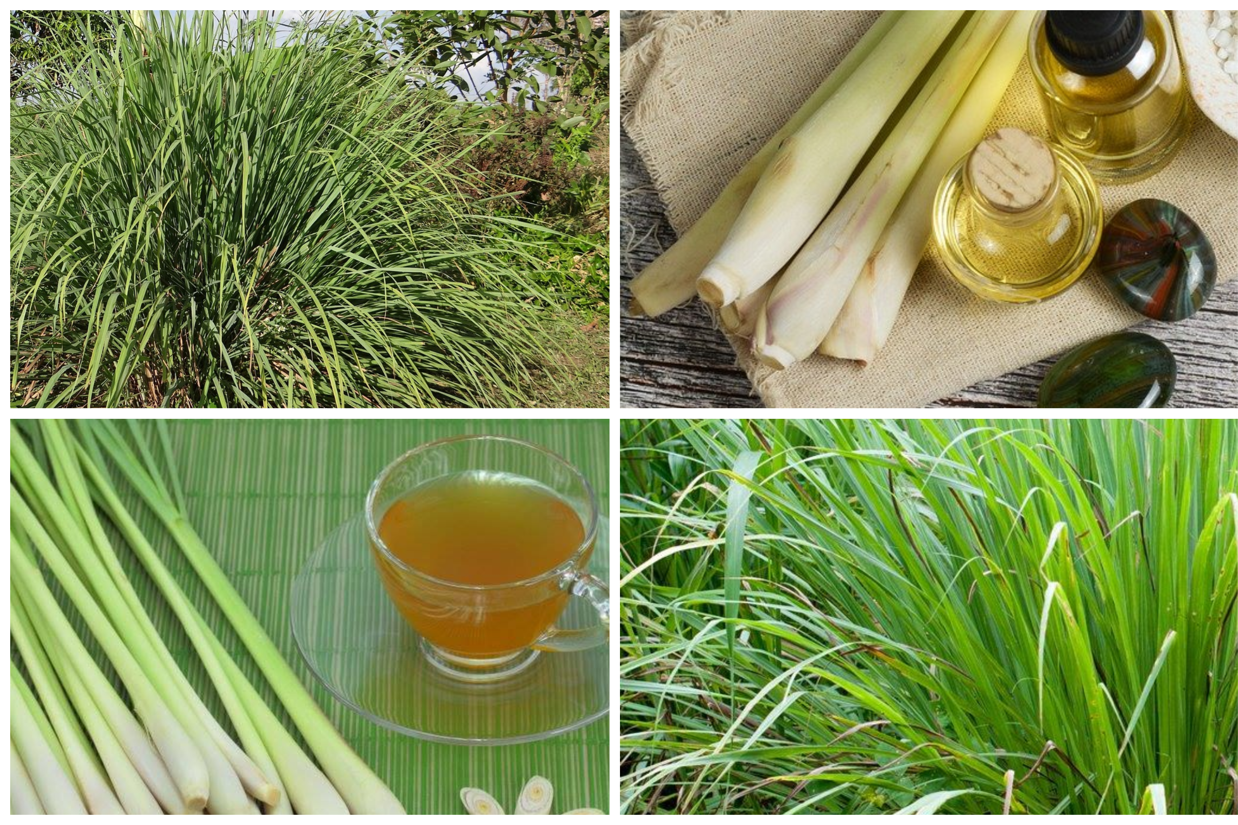 AN EFFECTIVE GUIDE TO GROW LEMON-GRASS AND ITS BENEFITS