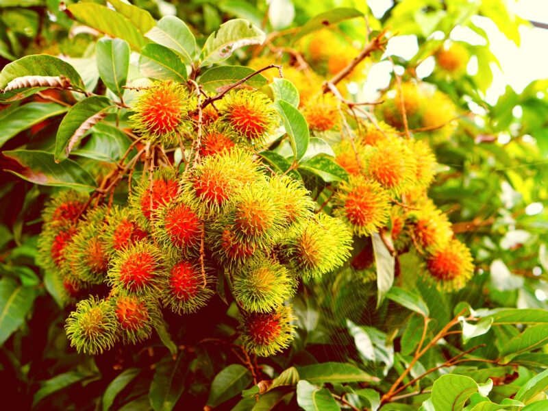 Rambutan Fruit Health Benefits and Growing Techniques