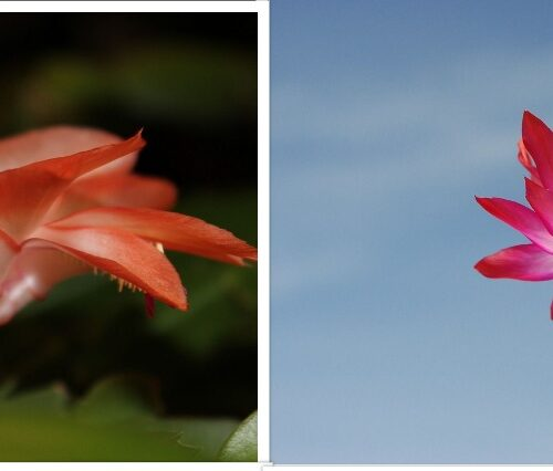 Christmas Cactus Care: Growing and Caring Procedure