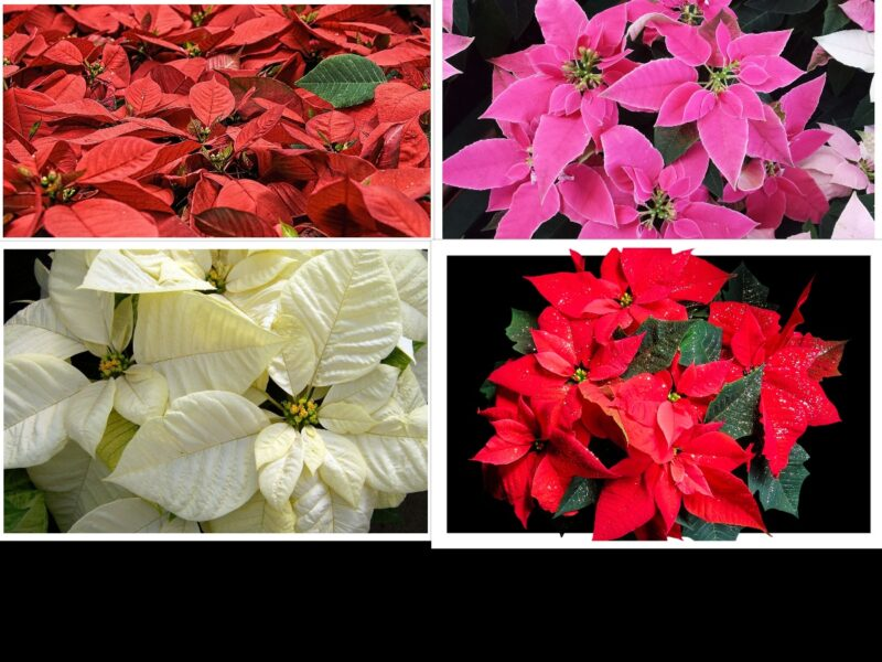 Easy and Effective way to grow and bloom Poinsettia in your garden