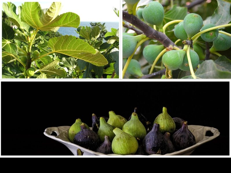 FIG: A UNIQUE BLEND OF TASTE AND HEALTH