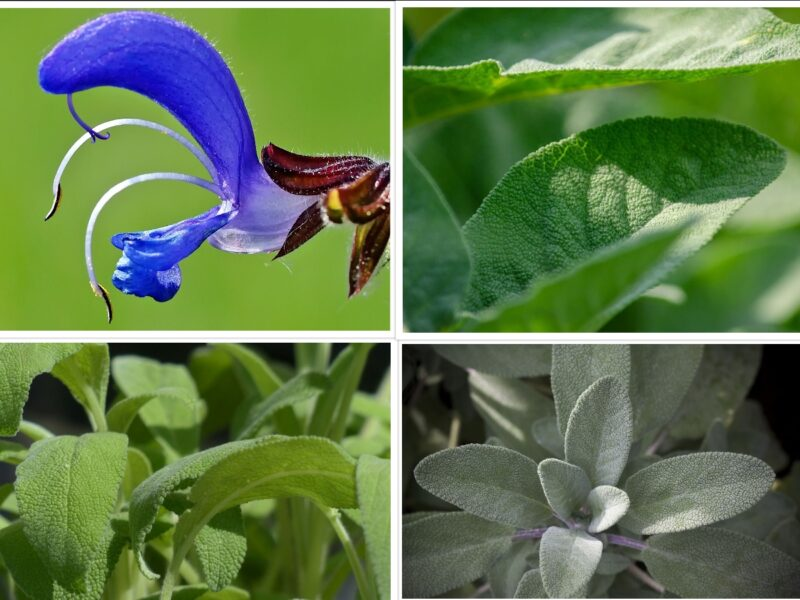 Sage herb:Planting, Growing, and Benefits