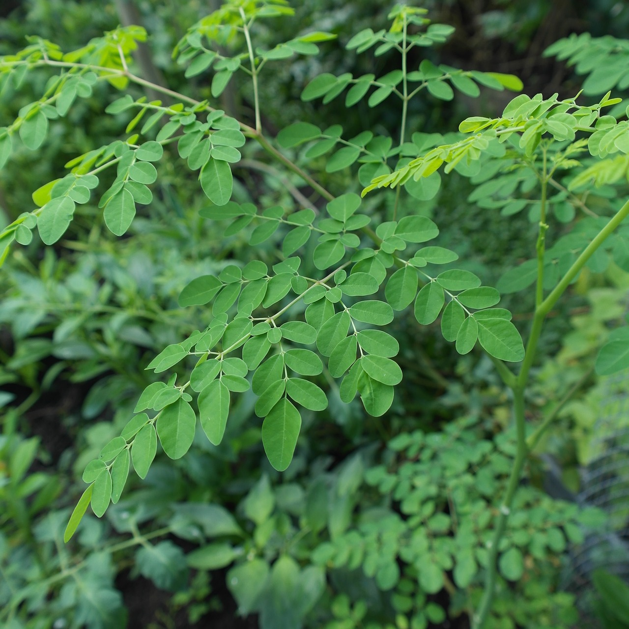 MORINGA: THE MIRACLE PLANT