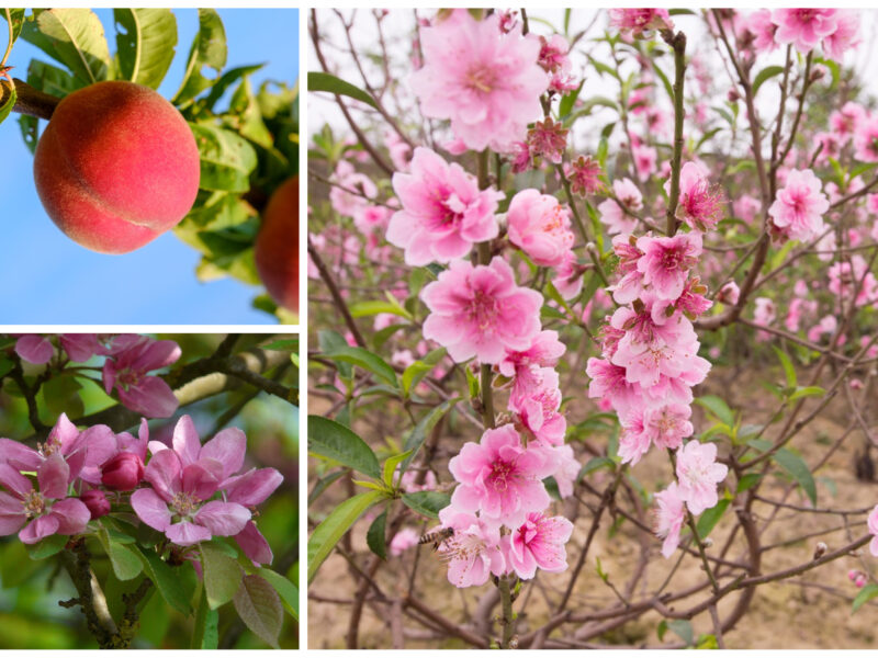Peach Plant and how to grow peach plant at home?