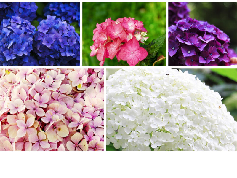Why Hydrangea is the best choice among flowers?
