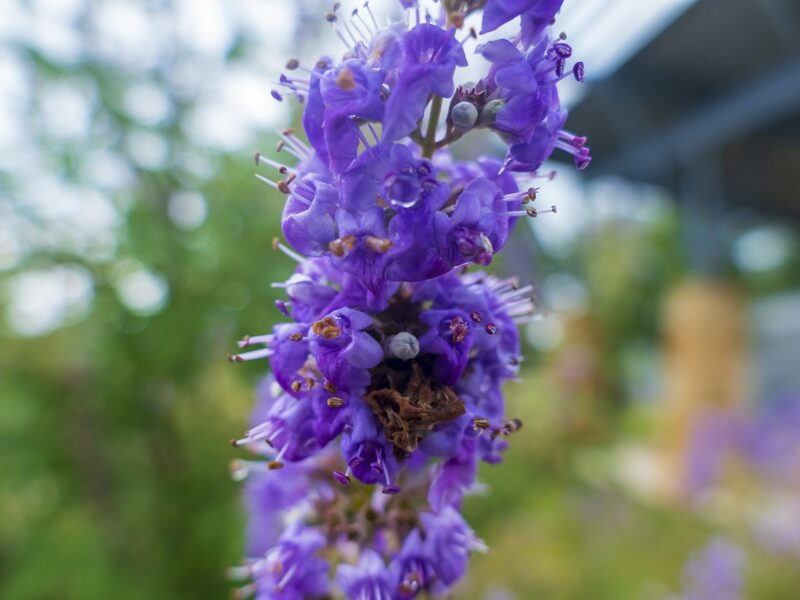 Vitex (chast tree)