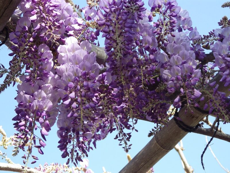 Everything you should know about Wisteria