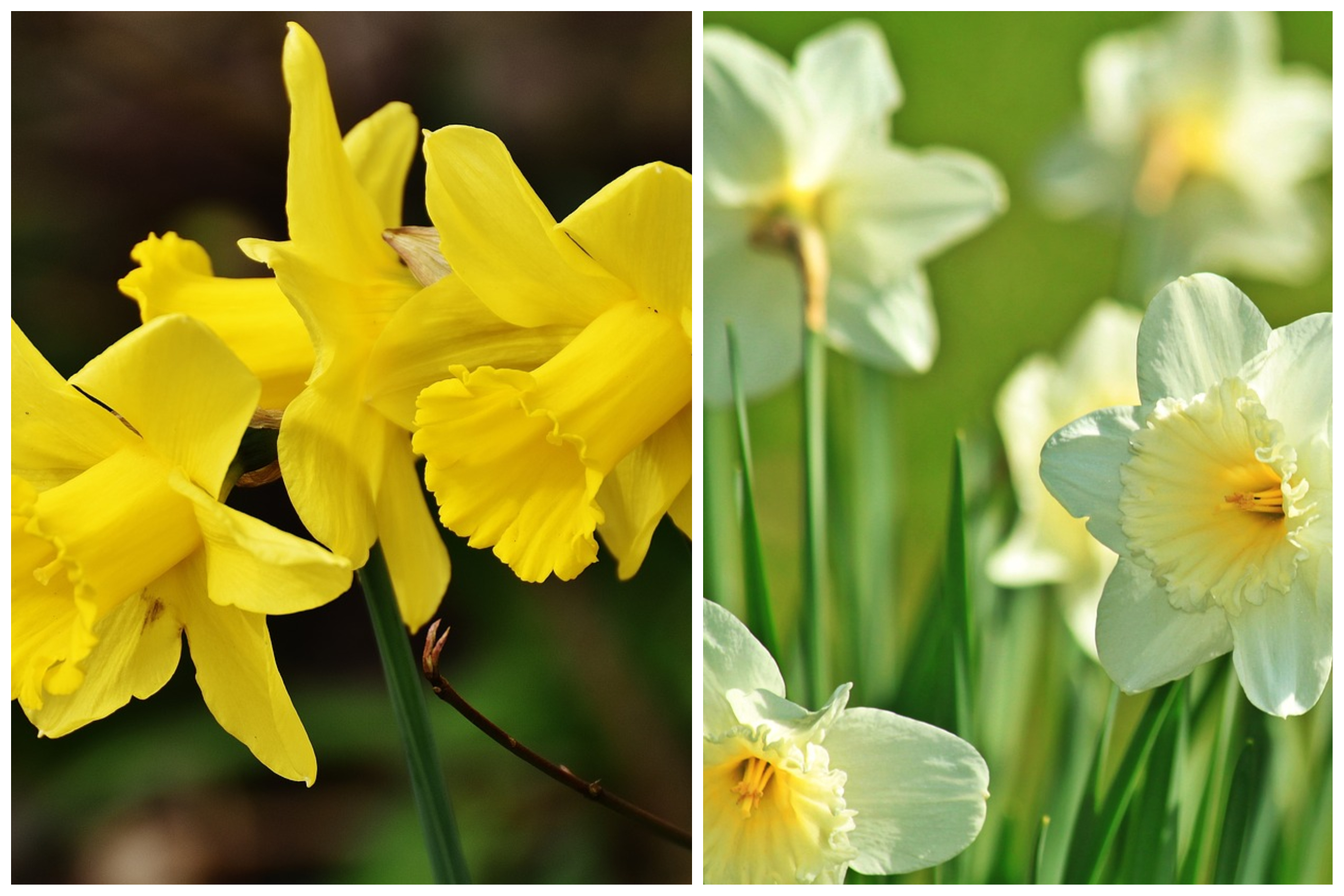 A GUIDE TO PLANT, GROW AND CARE FOR DAFFODIL PLANT